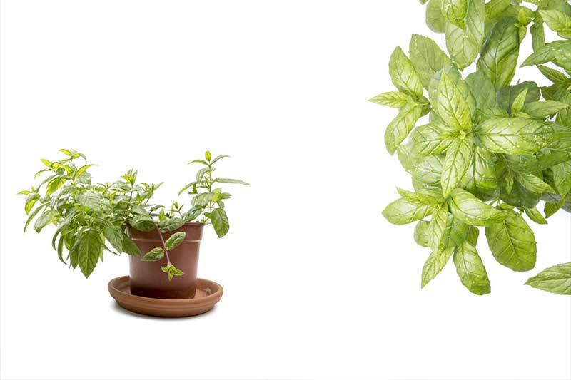Peppermint plants