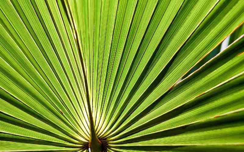 saw palmetto leaf